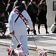 銀座中央通りで犬のお散歩